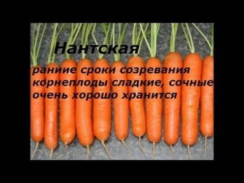 Морковь «нантская»: описание, посадка и уход