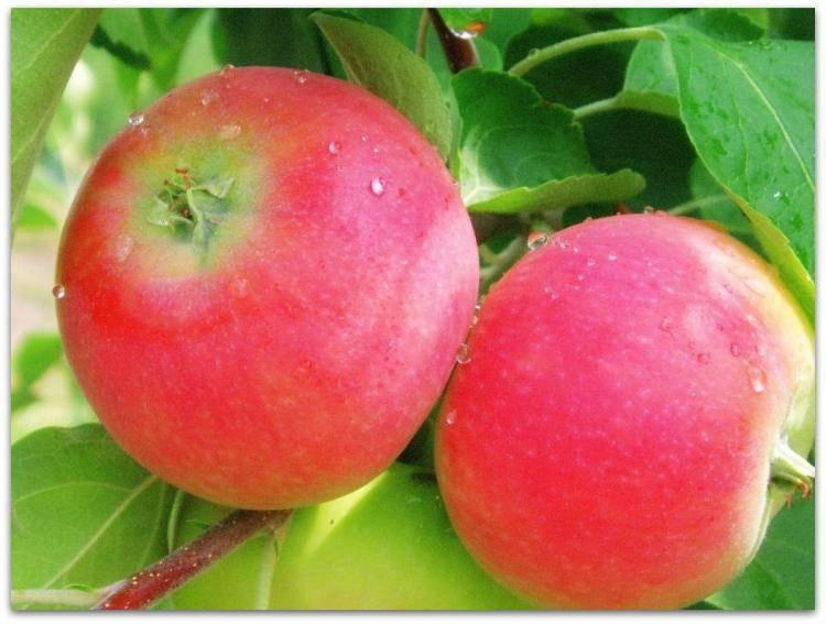 который сорт яблони оранжевое фото и описание сорта валентинку самой составит