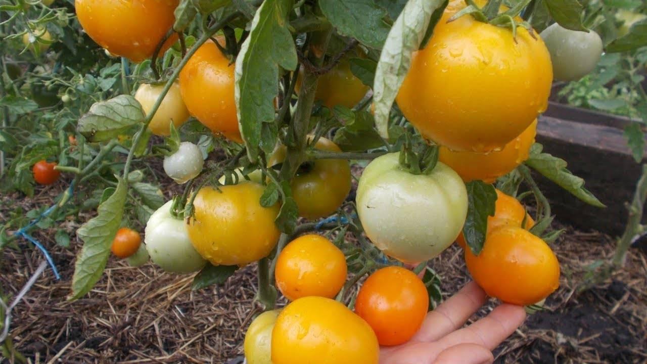 Всегда здоровый томат «царь петр»: описание сорта, фото поспевших плодов и уход за кустами