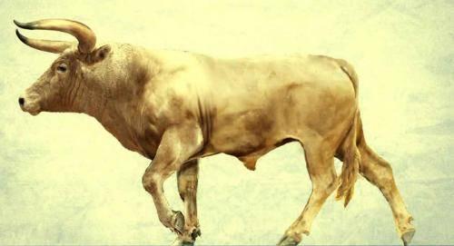 Дикие быки: какие потомки этих древних животных существуют в природе?