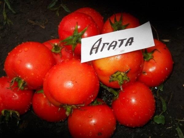 Ранний урожай вам подарит томат «майская роза»: описание и особенности сорта