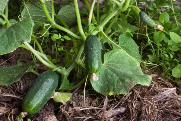 Особенности выращивания и ухода сорта огурцов тибурон