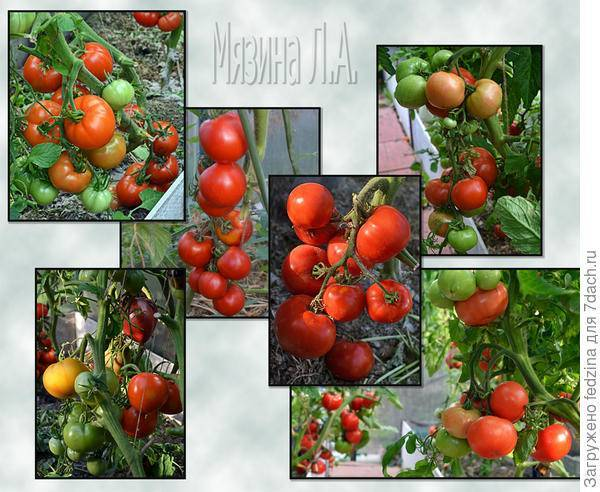 Томат сахар красный: характеристика и описание сорта с фото
