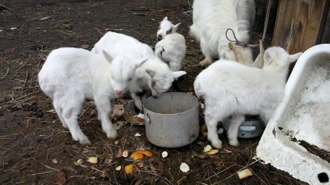 За сколько дней до окота наливается вымя у козы: подробная информация