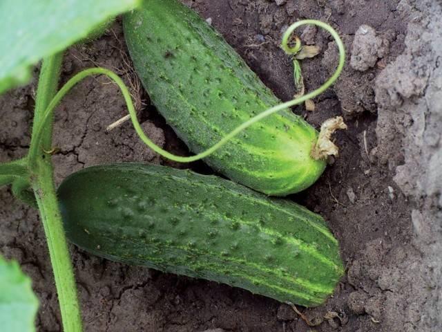 Описание сорта огурца емеля, особенности выращивания и ухода
