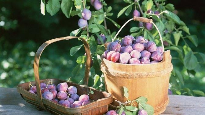 Слива яхонтовая — зимостойкий и урожайный сорт