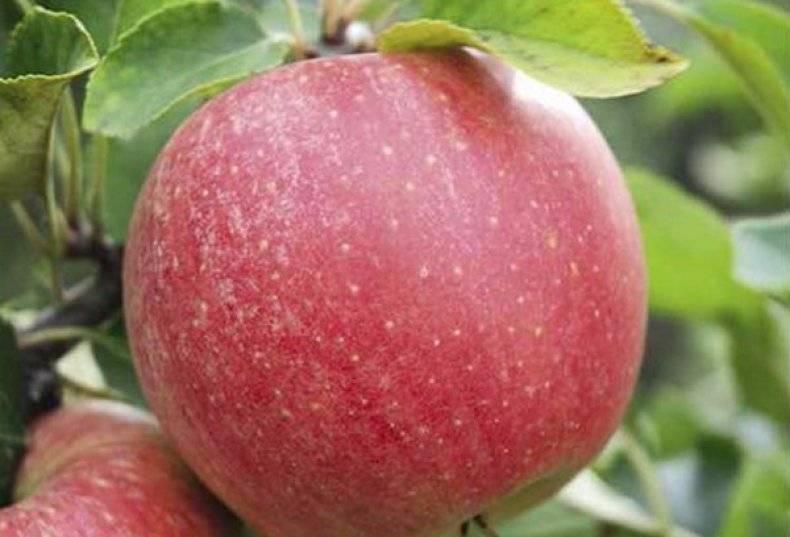 Яблоня флорина — маленькая, да удаленькая