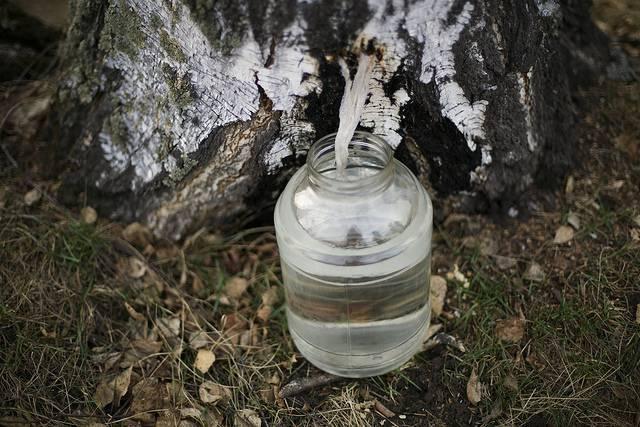 Березовый сок: 7 рецептов консервации березового сока в домашних условиях