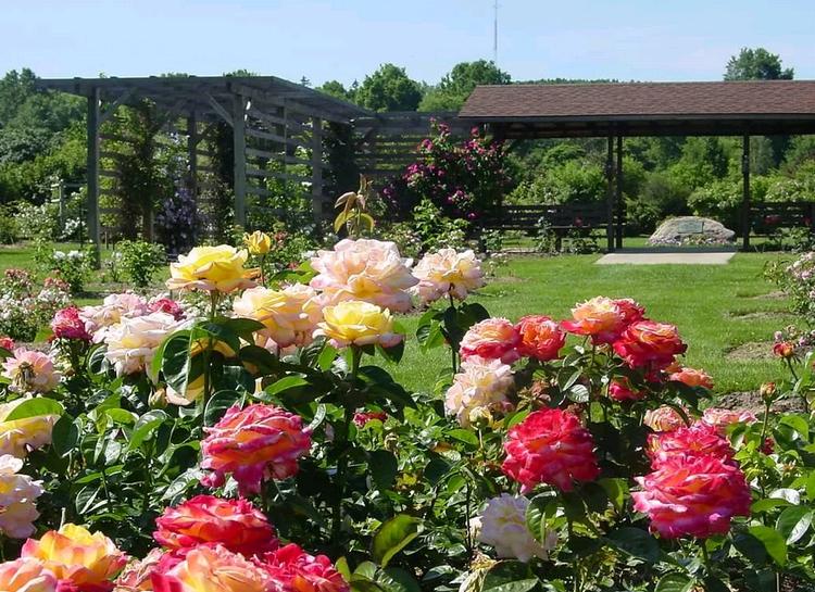 Посадка роз с открытой корневой системой осенью