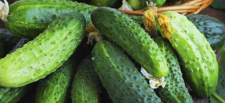 Огурцы мареса — характеристика и правила выращивания сорта