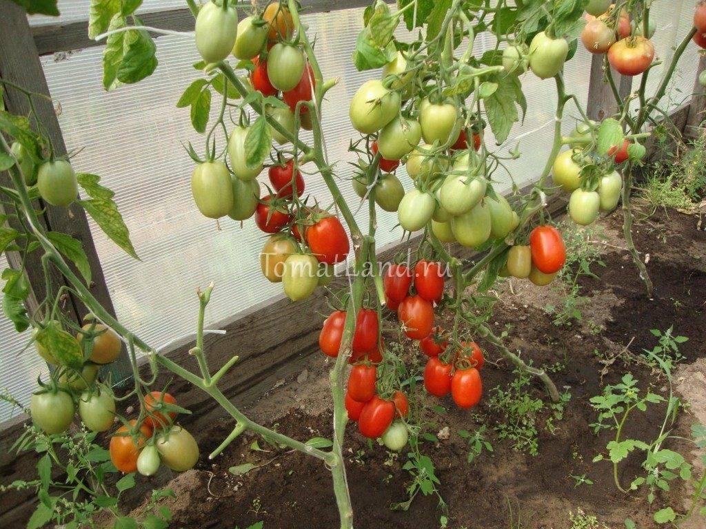Технология и способы выращивания помидоров на подоконнике зимой