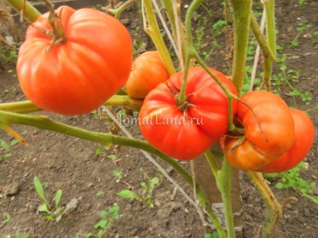 Разработка отечественных селекционеров для российского климата — томат «валентина»