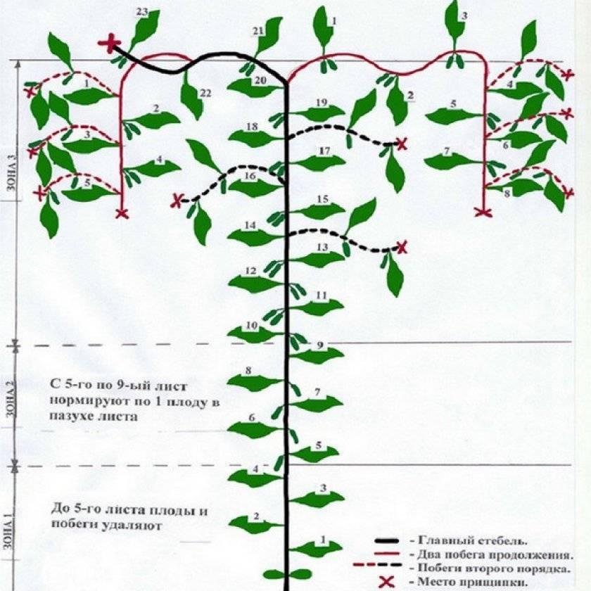 Формирование огурцов – как правильно формировать огурцы в теплице, пасынкование и прищипывание