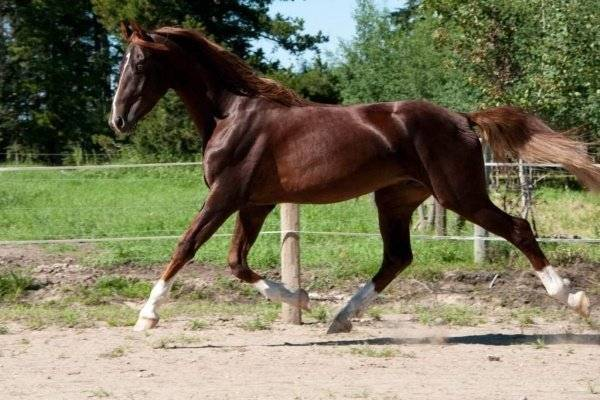 Что представляет собой ганноверская порода лошадей