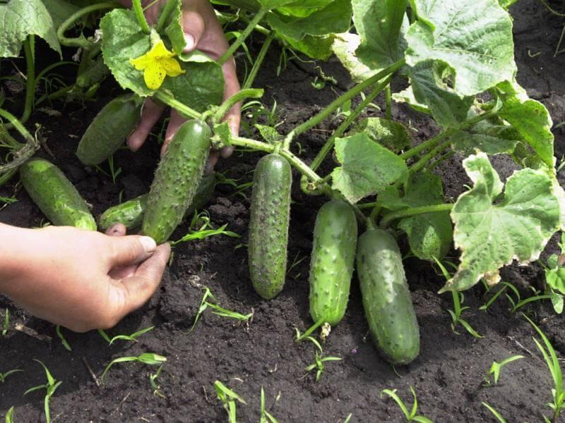 Огурец гектор f1: характеристика и правила выращивания