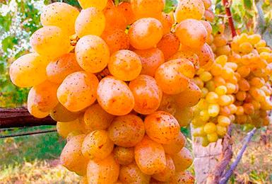 Описание и характеристики, преимущества и недостатки винограда сорта блестящий, выращивание