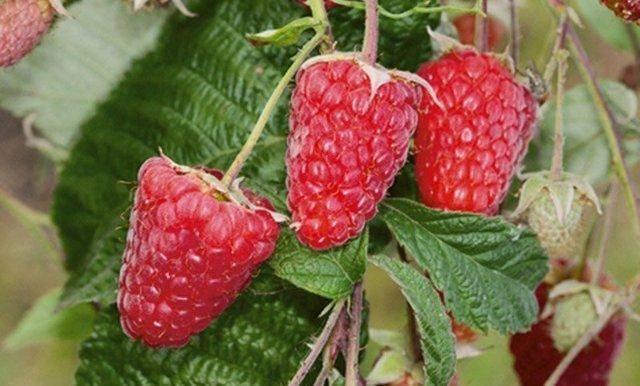 Сорт малины маросейка — описание и особенности выращивания