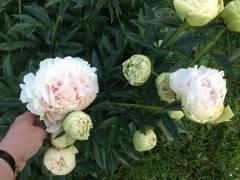 Пионы короли весеннего сада, посадка и уход в открытом грунте