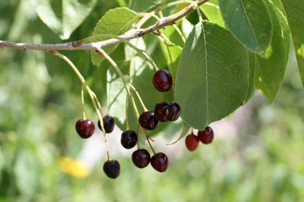 Описание сорта Магалебской вишни Антипка, выращивание из семян и советы по уходу