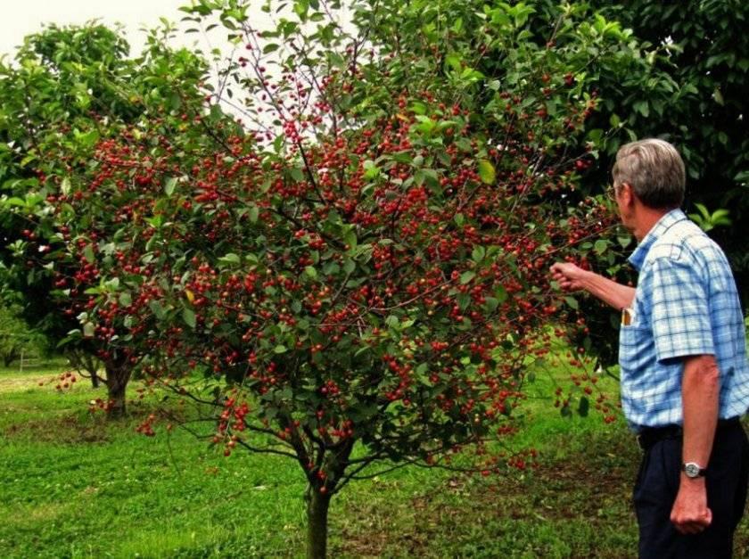 Ягода похожая на вишню с косточкой — как называется, сорта с мелкими плодами