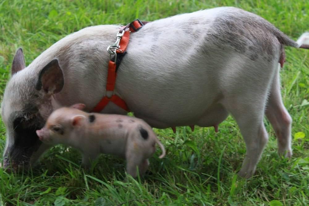 Мини-пиги: описание пород свиней, организация содержания и разведения