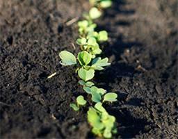 Как правильно сажать и выращивать редис в открытом грунте?