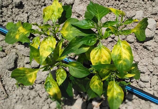 Причины, почему желтеют, опадают и высыхают листья у перца, что делать