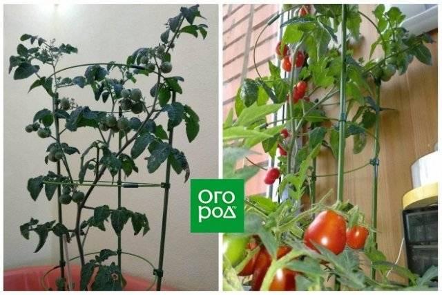 Насладитесь превосходным вкусом с томатом блиц f1 — описание сорта и его характеристики