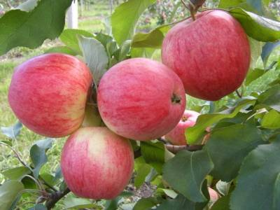 Описание и характеристики яблок сорта Муцу, посадка, выращивание и уход