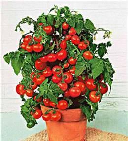 Томат бенито f1: отзывы, фото, урожайность