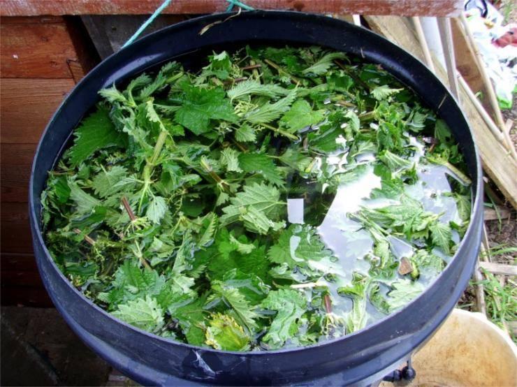 Подкормка огурцов крапивой: как приготовить и удобрять