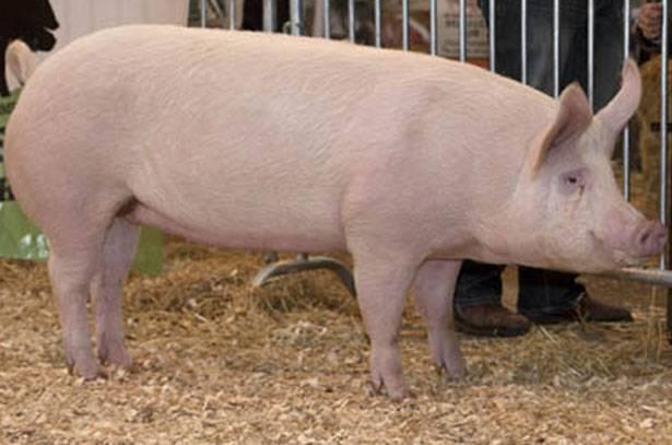 Лучшие свиньи мясной породы с фото: описание, достоинства и недостатки