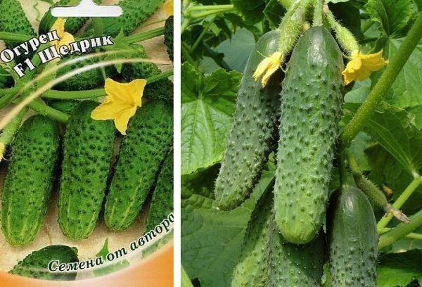Огурец гирлянда f1: описание и характеристика сорта, урожайность с фото
