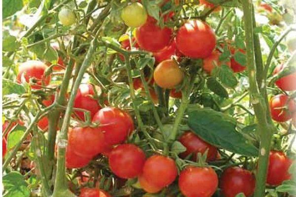 Томат флорида — описание и характеристика сорта