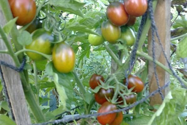 Описание сорта томата Чернослив, рекомендации по выращиванию и уходу