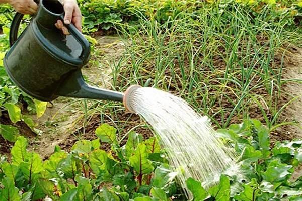 Как вырастить свеклу сладкую — чем подкормить, как полить