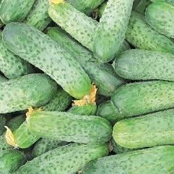Описание огурцов Аякс, характеристика сорта и выращивание