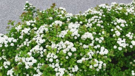 Спирея билларда: описание и агротехника