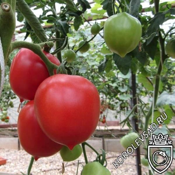 Ранние сорта помидор: самые популярные виды, советы по выращиванию в открытом грунте и парниках (95 фото)