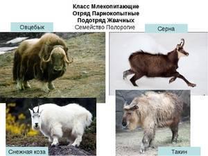 Описание и характеристика баранов гиссарской породы, их плюсы и недостатки