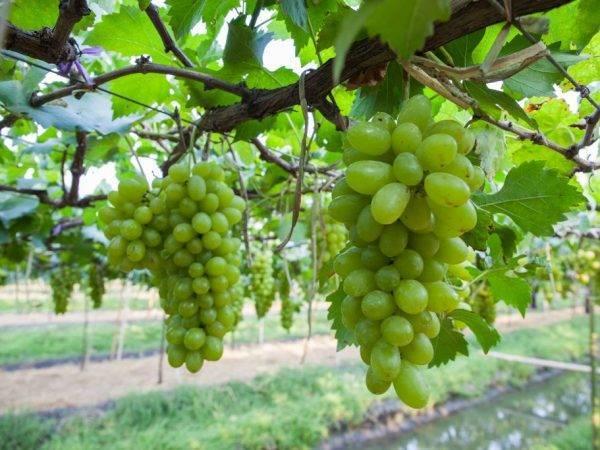 Описание и характеристики сорта винограда дружба, правила выращивания и уход