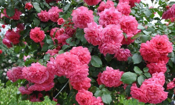 Сорт плетистой розы «розариум ютерсен»