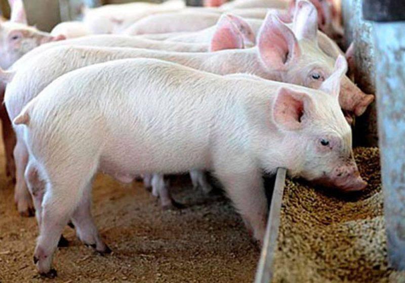 Приготовление корма для свиней