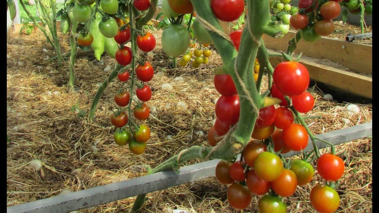 Томат сашер: описание и характеристика сорта, урожайность с фото