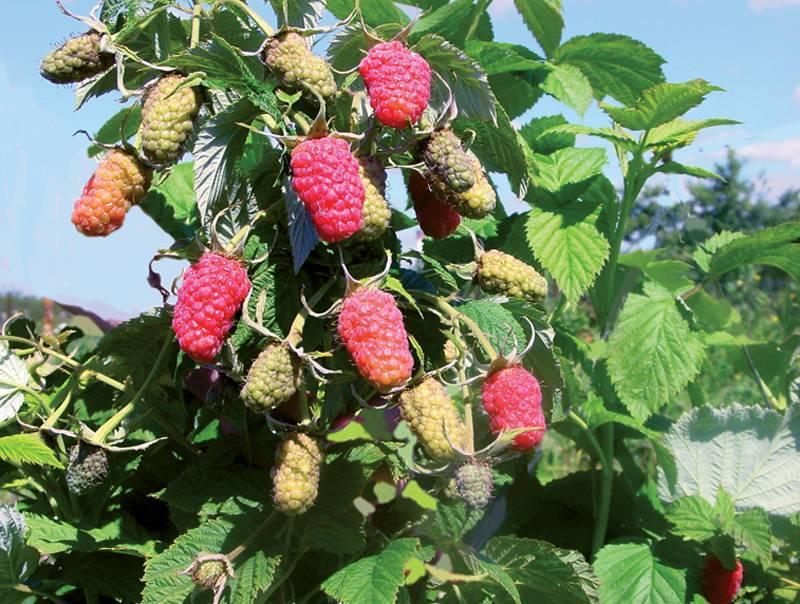 5 ягод, о посадке которых я пожалела