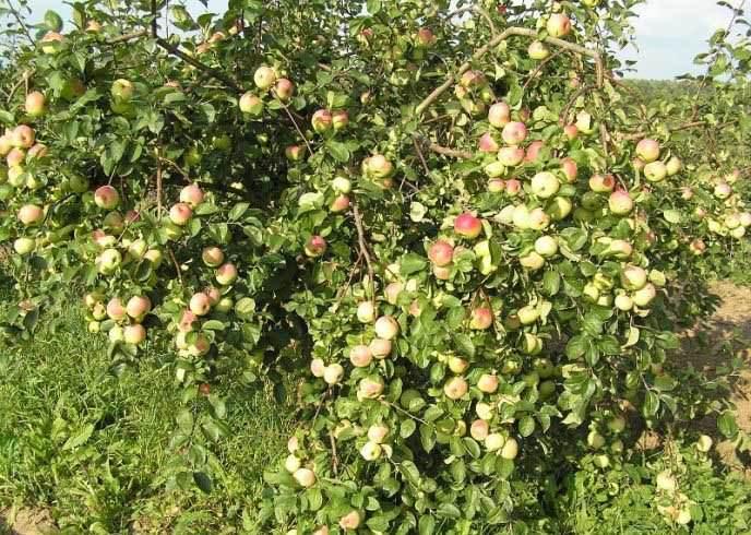 Характеристики и описание сорта яблони Веньяминовское, посадка и уход