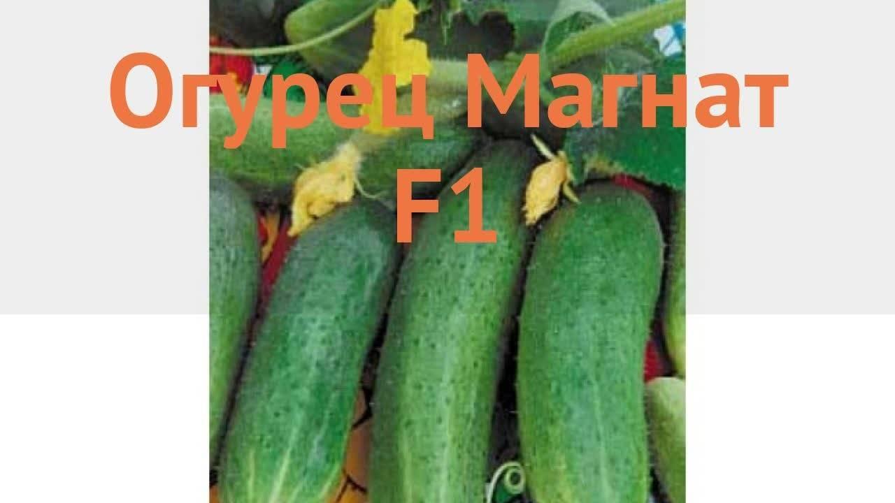 Огурцы магнат f1: описание сорта и отзывы
