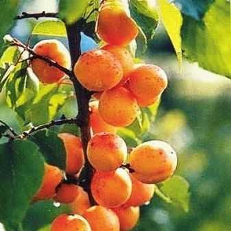 Лучшие сорта абрикосов для подмосковья: название, описание, отзывы