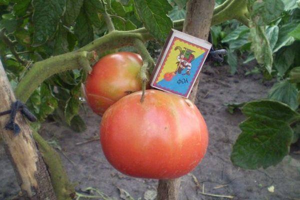 Томат буги вуги отзывы фото урожайность