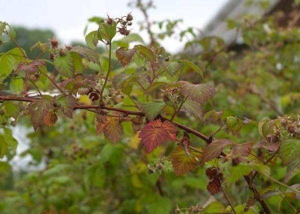 Почему у малины преждевременно желтеют листья?